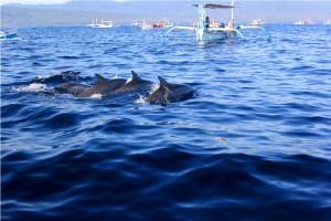 www.balijavaholidays.com lovina dolphin